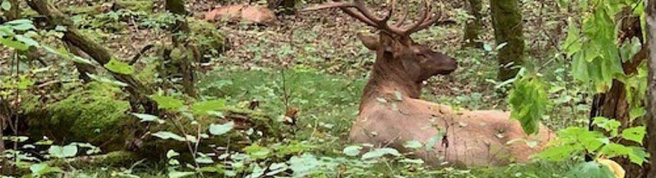 Elk-at-Cataloochee-Park-sml